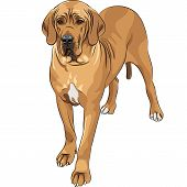 stock photo of gentle giant  - sketch of the fawn dog Great Dane breed - JPG