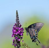 picture of butterfly-bush  - Eastern Tiger Swallowtail butterfly  - JPG