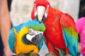 stock photo of love bite  - a red parrot bite the other - JPG