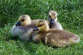 stock photo of baby goose  - three canadian geese babies - JPG