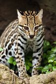 stock photo of ocelot  - Closeup of an Ocelot against a blurred background - JPG