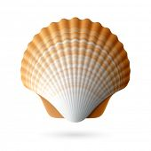 picture of scallops  - Scallop seashell - JPG