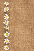 Daisies Are On Sackcloth