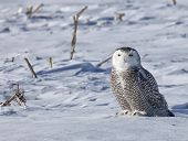 stock photo of hedwig  - Juvenile Snowy owl in winter - JPG