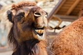 stock photo of dromedaries  - Close - JPG