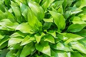 picture of monocots  - Green Hosta leaves under the warm spring sun - JPG