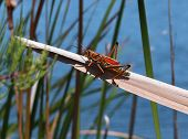 stock photo of florida-orange  - Large Florida orange grasshopper sunning on a plant in the Florida Everglades - JPG