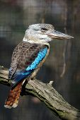picture of blue winged kookaburra  - Blue - JPG