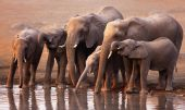 Elephants Drinking