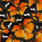foto of malay  - Pile up of many beautiful Malay Lacewing Butterflies in full framing background texture - JPG
