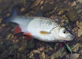 picture of chub  - Chub caught on a hardbait lying in water - JPG