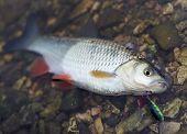 foto of chub  - Chub caught on a hardbait lying in water - JPG