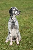Постер, плакат: Typical English Setter In The Garden