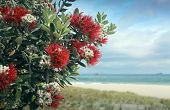 picture of christmas flower  - Pohutukawa tree red flowers sandy beach in mount Maunganui - JPG