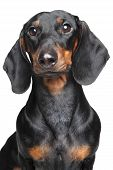 picture of dachshund  - Miniature dachshund - JPG