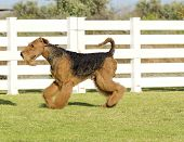 stock photo of stubborn  - A profile view of a black and tan Airedale Terrier dog walking on the grass looking happy - JPG