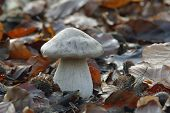 image of agar  - Clouded Agaric Fungus - Clitocybe nebularis