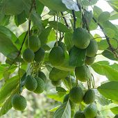 stock photo of avocado tree  - Avocados growing on a tree - JPG