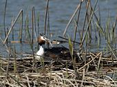 stock photo of great crested grebe  - Great Crested Grebe hatching in a nest - JPG