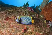 pic of angelfish  - Emperor Angelfish - JPG