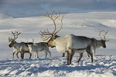 pic of tromso  - Reindeers in natural environment, Tromso region, Northern Norway