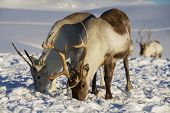 image of caribou  - Reindeers in natural environment, Tromso region, Northern Norway