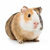stock photo of guinea pig  - brown guinea pig on white isolated - JPG