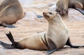 pic of blubber  - At acolony of Cape Fur Seals at Cape Cross on the Atlantic Ocean in Namibia - JPG