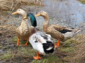 pic of duck-hunting  - The Three beautiful ducks on the lake - JPG