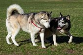 picture of dog eye  - Two Siberian Husky is strolling next to each other - JPG