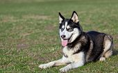 picture of siberian husky  - Siberian Husky is resting after jogging - JPG
