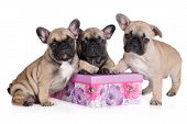 picture of french bulldog puppy  - three beige french bulldog puppies together on white - JPG