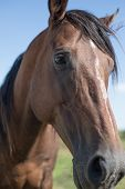stock photo of horse-breeding  - Portrait of a Polo racing horse. Special breed. Traveling through South America. Argentina, countryside.
