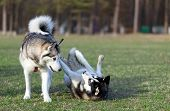 stock photo of paw  - Two Siberian Husky frolic on the lawn - JPG