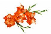 picture of gladiolus  - beautiful orange gladiolus isolated on white background - JPG
