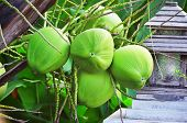 picture of naturist  - Young green coconuts on the palm tree - JPG