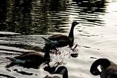 stock photo of duck pond  - Wild duck in a pond backlit image. ** Note: Soft Focus at 100%, best at smaller sizes - JPG