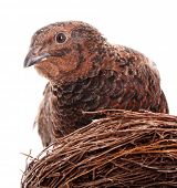 stock photo of quail  - Brown quail in nest - JPG