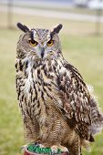stock photo of owls  - Eagle Owl - JPG