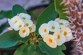 picture of crown-of-thorns  - Crown of thorns flowers Euphorbia milli Desmoul - JPG