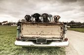 picture of labradors  - four Labradors in the back of a vintage truck - JPG