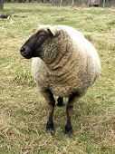 picture of clos  - close up on a black ewe head - JPG