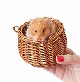 image of hamster  - Hamster in a basket isolated on a white background - JPG