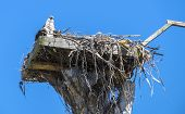stock photo of osprey  - Adult and Baby Osprey in the Nest Against the Blue Sky - JPG
