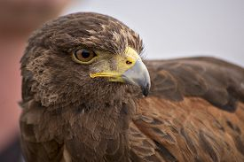 picture of hawk  - A Harris hawk is the only hawk known to hunt in packs which makes it ideal for falconry or hawkery - JPG