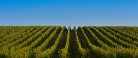 image of bordeaux  - Vineyard Sunrise  - JPG