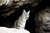 picture of bobcat  - A small bobcat sitting in his cave - JPG
