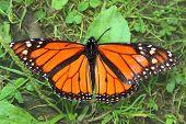 picture of winnebago  - Monarch Butterfly (Danaus plexippus) in northern Illinois. ** Note: Slight blurriness, best at smaller sizes - JPG
