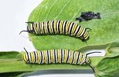 Постер, плакат: Third and fourth instar comparison of Monarch caterpillars with fourth instar on top next to his ju