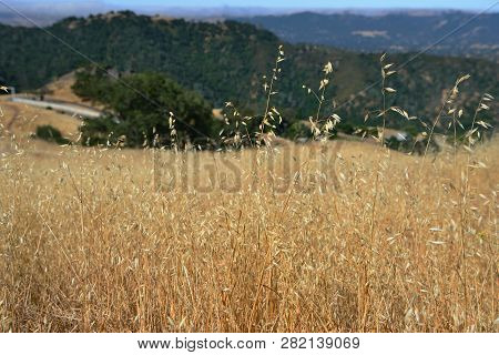 Dry Grass Close Up In